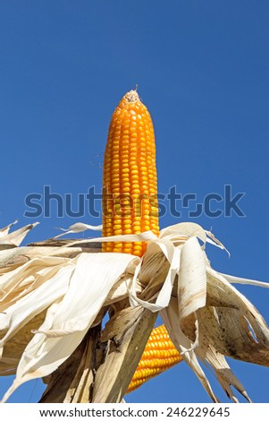 Field corn in the field with blue sky  - stock photo