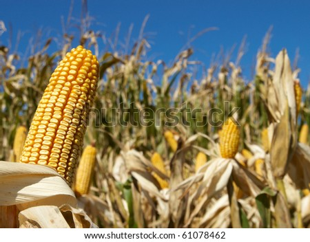 Field corn in the field with blue sky on display for field testing - stock photo