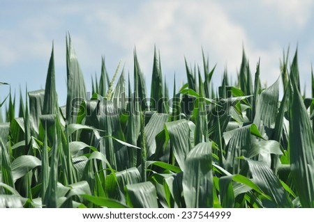 Field corn. Leaves of corn on a background of the sky. The growth of the crop. The maturation of the crop.