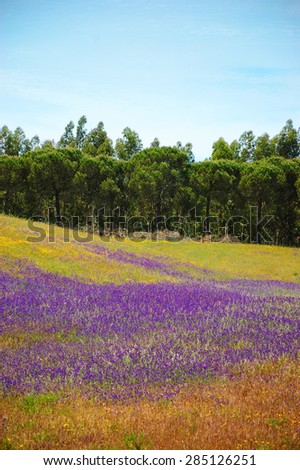 Field covered with blooming wild  violet lavender flowers and  yellow daisy. Forest at background. South of Portugal.  - stock photo
