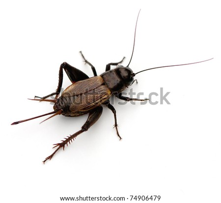 Black Field Cricket Insect