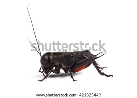 Field cricket isolated on white background - stock photo