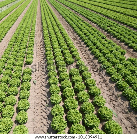field cultivated with green lettuce on fertile soil made of sea sand