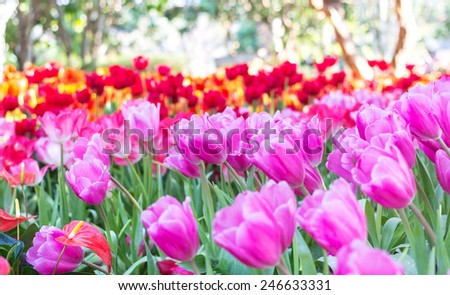 Field full of pink tulips in spring - stock photo