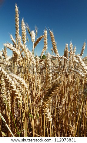 Field full of wheat seed - stock photo