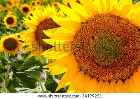 Field full of yellow sunflowers - stock photo