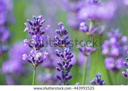 field lavender morning summer blur background wallpaper. shallow depth of field
