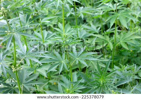 field liberally rising medicinal herb cannabis  - stock photo