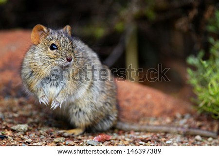 Field mouse on hind legs looking to side, Addo Elephant National Park, South Africa - stock photo