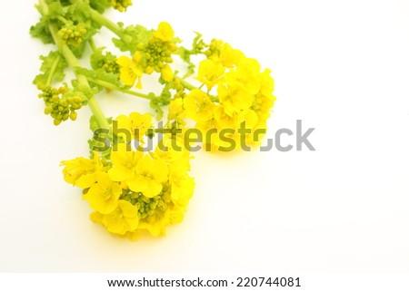 Field mustard - stock photo
