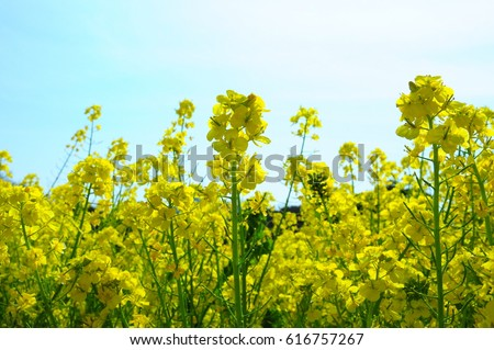 https://thumb7.shutterstock.com/display_pic_with_logo/167494286/616757267/stock-photo-field-mustard-of-tokyo-hamarikyu-garden-616757267.jpg