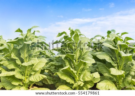 Field Nicotiana tabacum, the Common tobacco is an annually-growing herbaceous plant
