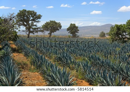 Field of agave plants near Guadalajara, Jalisco State, Mexico