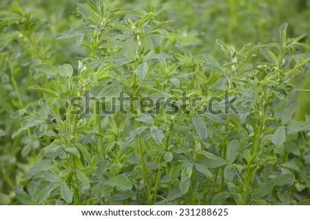 Field of alfalfa (Medicago sativa) - stock photo