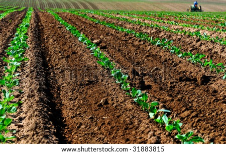 Field of Baby Broccoli - stock photo