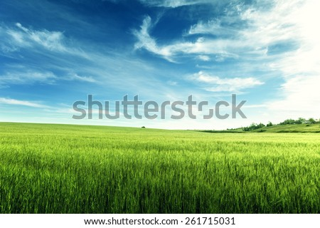 field of barley - stock photo