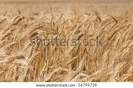 Field of barley in the sunlight - stock photo