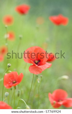 field of beautiful poppy flowers