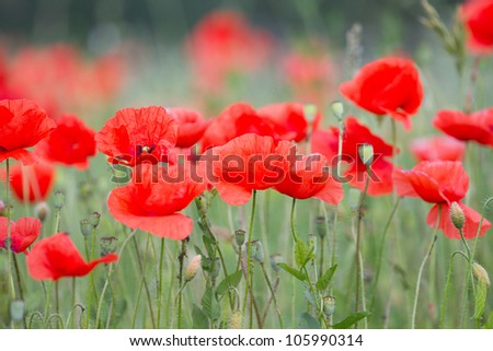 Field of beautiful red poppies