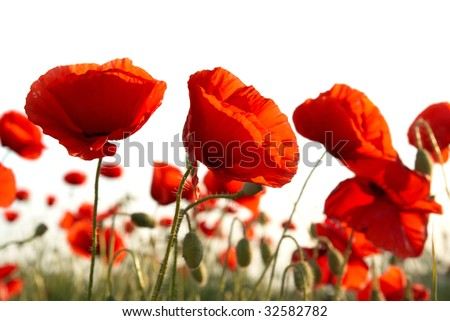 Field of beautiful red poppies isolated on white - stock photo