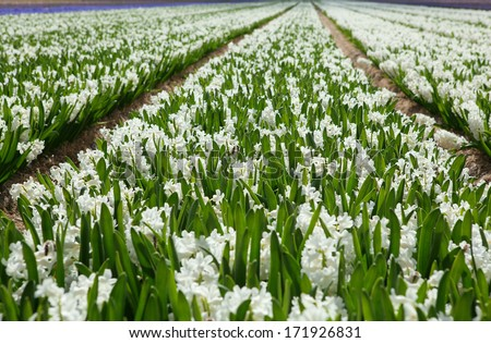 Field of beautiful white hyacinths in Holland - stock photo