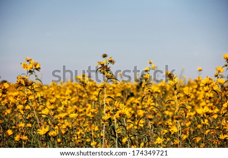 Field of beautiful yellow Bur-Marigolds (Bidens laevis) in field against blue sky with soft vignette. - stock photo