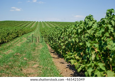 field of blackcurrant