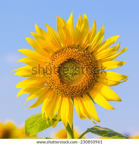 Field of blooming sunflower with blue sky in Thailand. - stock photo
