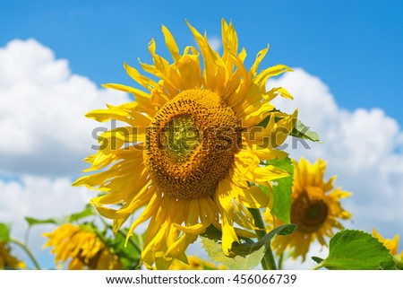 field of blooming sunflowers - stock photo