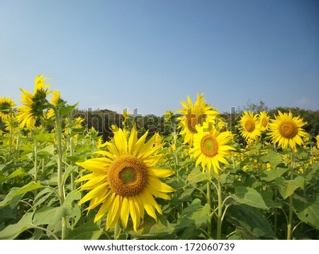 field of blooming sunflowers in summer