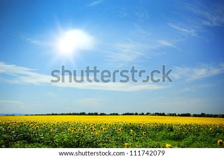 field of blooming sunflowers on a background of blue sky - stock photo