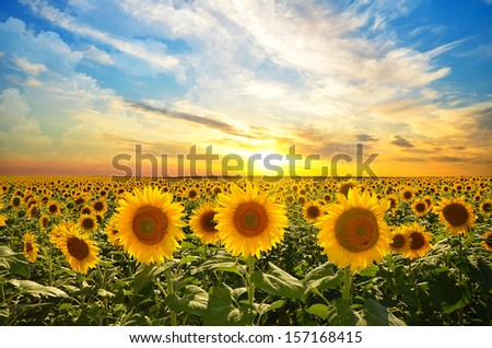 field of blooming sunflowers on a background sunset - stock photo