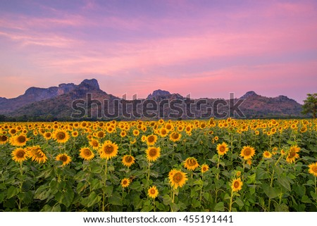 field of blooming sunflowers on a mountain background sunset - stock photo