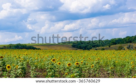 field of blooming sunflowers on blue sky background