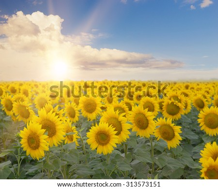 Field of blooming sunflowers with a sunset and clouds on the background. Beautiful landscape with sunflower field over cloudy sky and bright sun lights. Field of sunflowers. Composition of nature.
