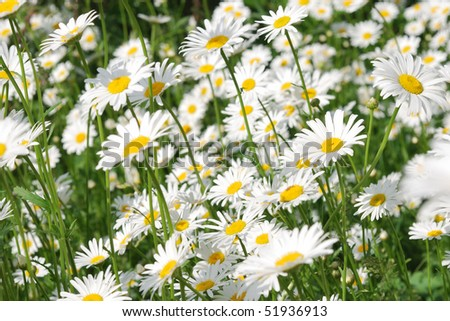 field of blooming wild camomiles - stock photo