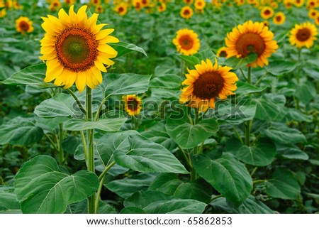 Field of blooming yellow sunflowers - stock photo