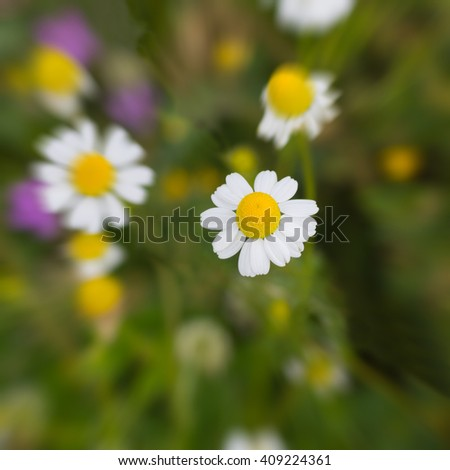 Field of Blossoming Camomiles in Springtime. Selective Focus, Close Up. - stock photo