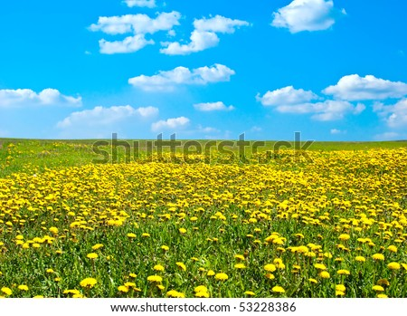 Field of blossoming dandelions under the blue sky