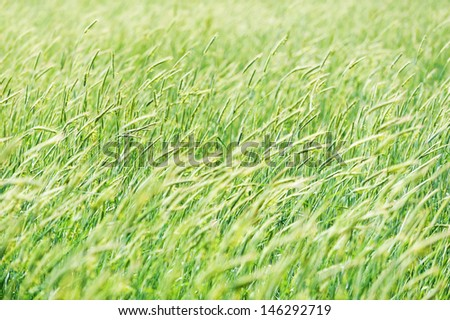 field of blossoming ears waving wind  close-up natural background  - stock photo