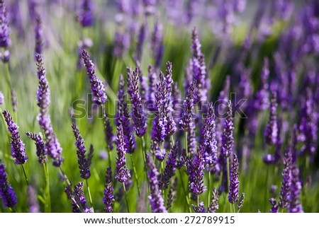 Field of blossoming lavender - stock photo