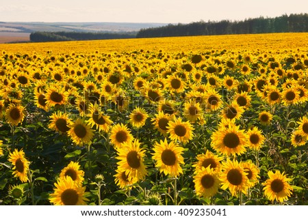 Field of blossoming sunflowers in summer day - stock photo