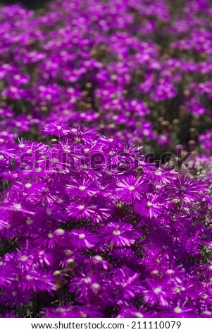 Field of bright purple ice plant flowers