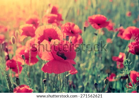 Field of bright red corn poppy flowers in summer. Vintage effect - stock photo