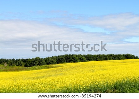 Field of bright yellow canola - stock photo