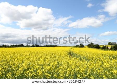 Field of bright yellow canola - stock photo