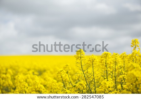 Field of bright yellow oil seed rape crop ready to be harvested - stock photo