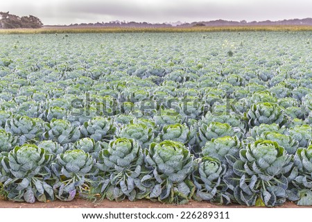 Field of Brussels Sprouts plants (Brassica oleracea)  early autumn morning - stock photo