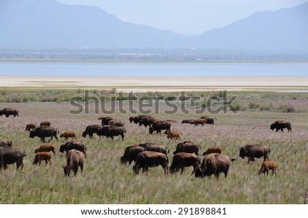 Field of Buffalo Grazing - stock photo