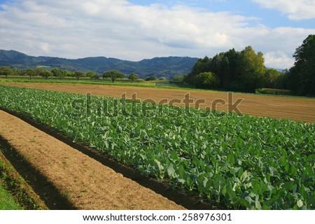Field of cabbage kohlrabi.  - stock photo